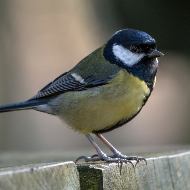 """Great Tit"" stock image"
