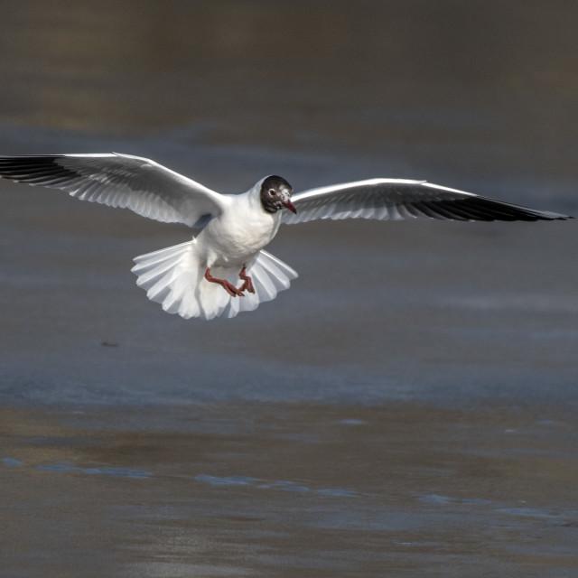 """""""gull laanding"""" stock image"""