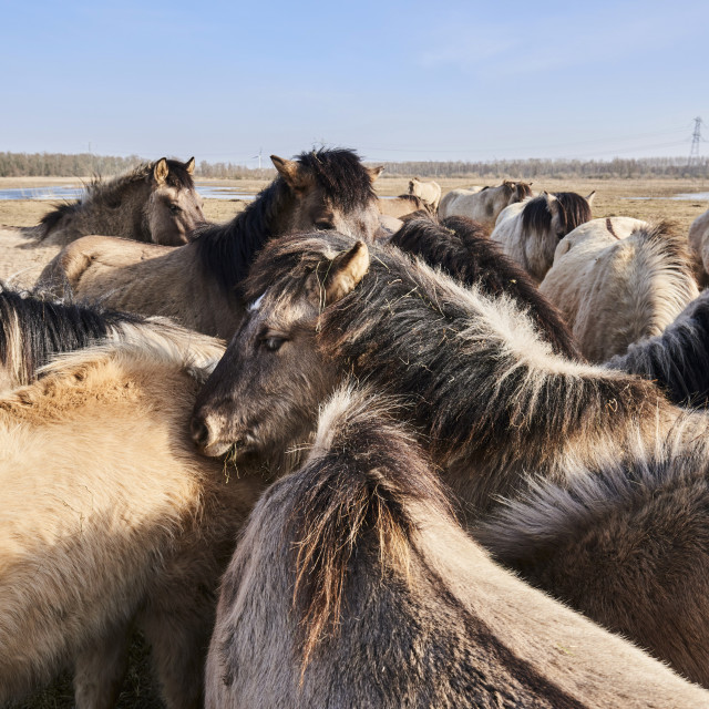 """""""KONIK HORSE NETHERLANDS"""" stock image"""