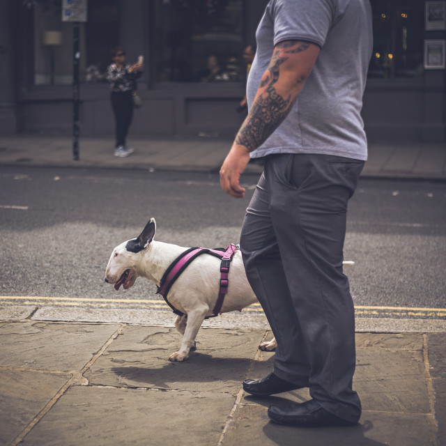 """English Bull Terrier"" stock image"