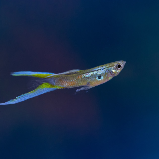 """""""Colourful Guppy"""" stock image"""