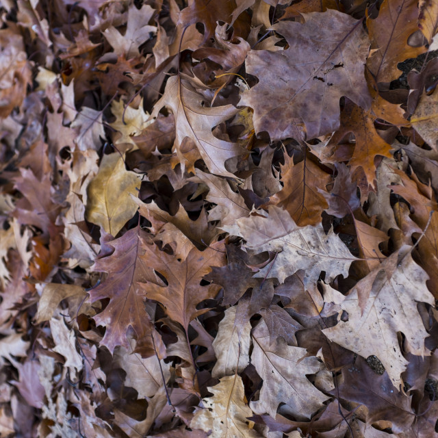 """Autumn oak leaves, Catalonia"" stock image"