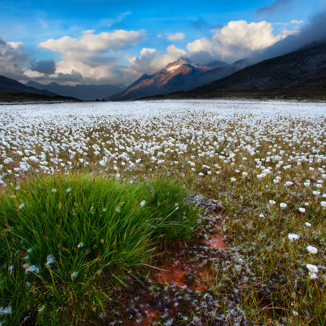 """Cotton grass to Gavia Pass-Stelvio Park"" stock image"