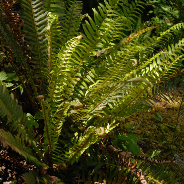 """""""Ostrich Fern, Shuttlecock Fern, Matteuccia struthiopteris, Onocleaceae Family."""" stock image"""