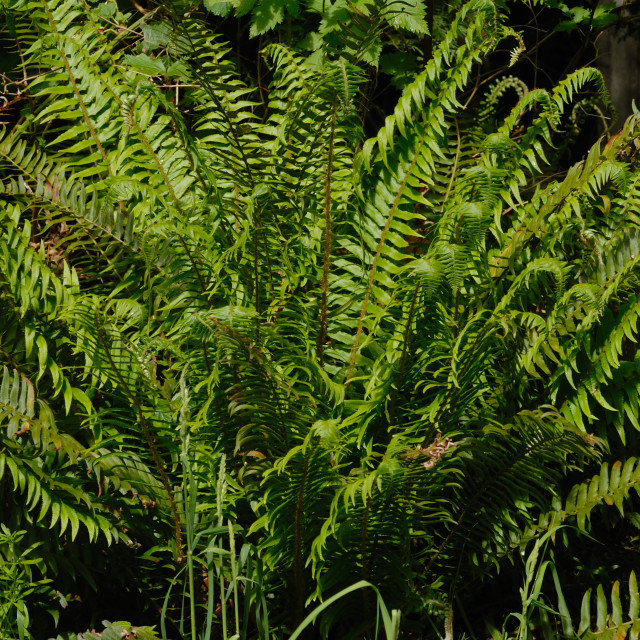 """Ostrich Fern, Shuttlecock Fern, Matteuccia struthiopteris, Onocleaceae Family."" stock image"