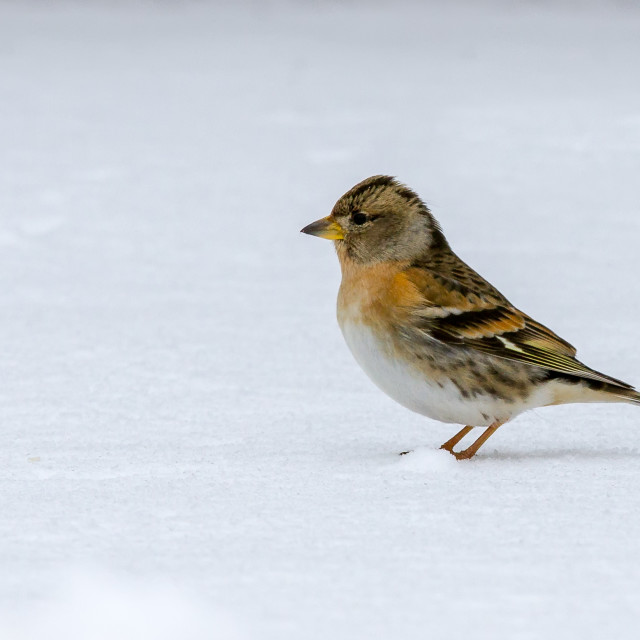 """Brambling (Fringilla montifringilla) in Snowy Conditions"" stock image"