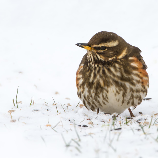 """Redwing (Turdus iliacus) in Snowy Conditions"" stock image"