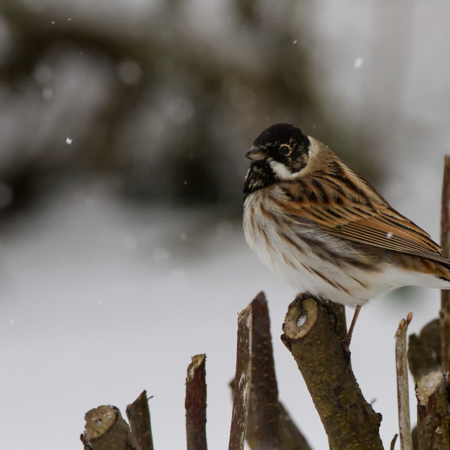 """Reed Bunting (Emberiza scoeniclus) in Snowy Conditions"" stock image"