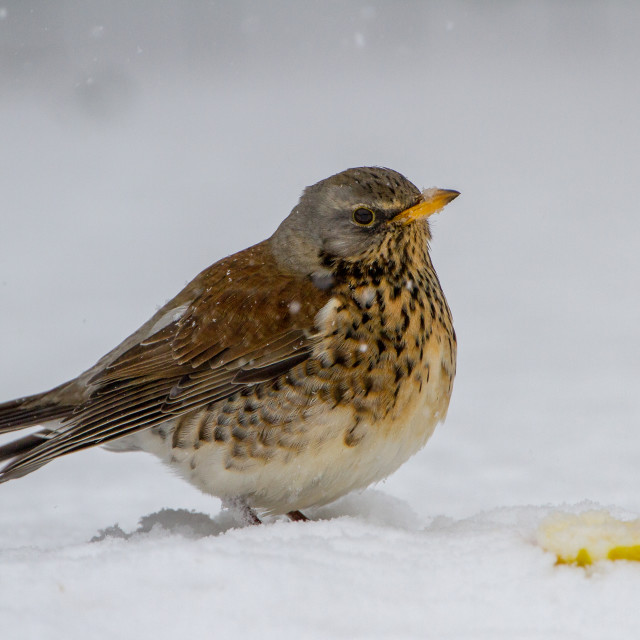 """Fieldfare (Turdis pilaris) feeding in snowy conditions"" stock image"