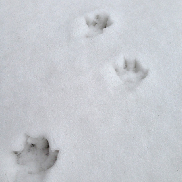"""Animal prints in the snow."" stock image"