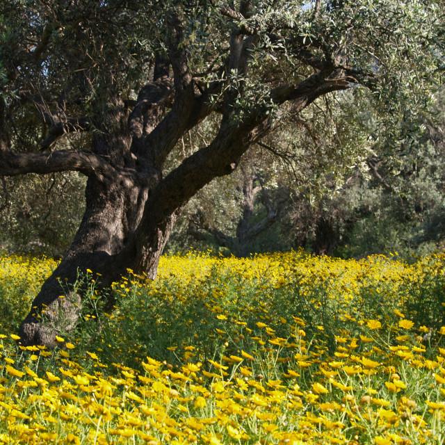 """Ozankoy Olive Grove"" stock image"