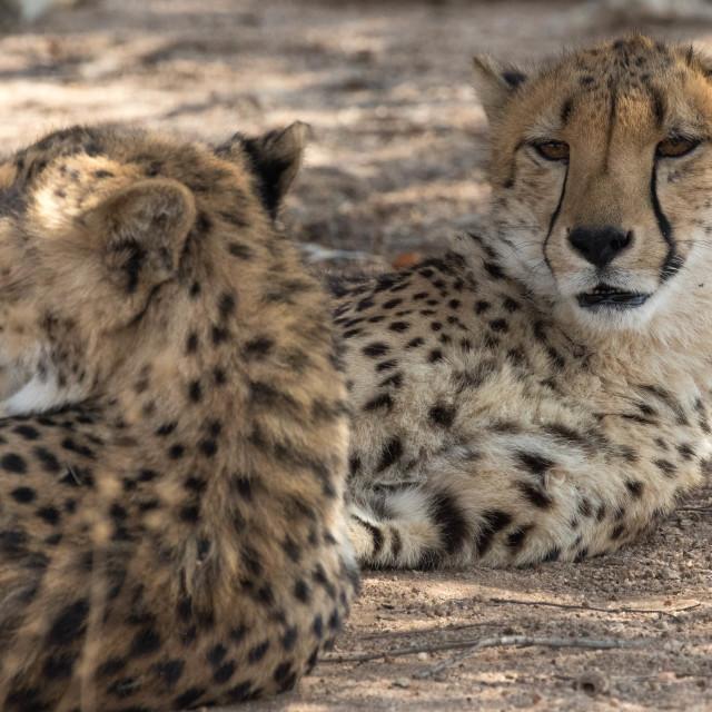 """2 cheetahs Kruher National Park"" stock image"