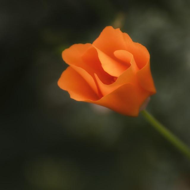 """""""Californica 'Orange King' II"""" stock image"""