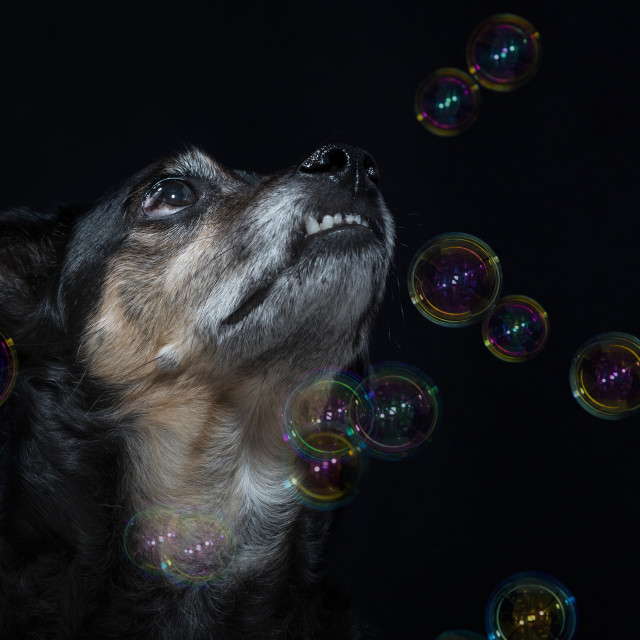 """""""Portrait of a mongrel dog with soap bubbles"""" stock image"""