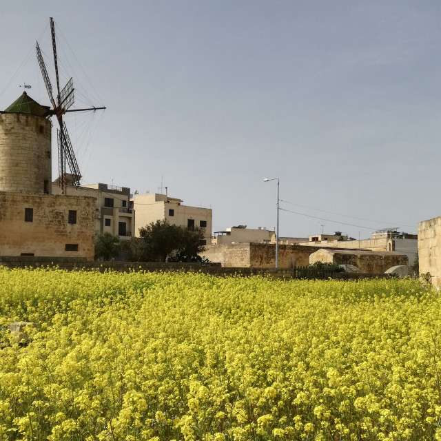 """Windmill and yellow flowers"" stock image"