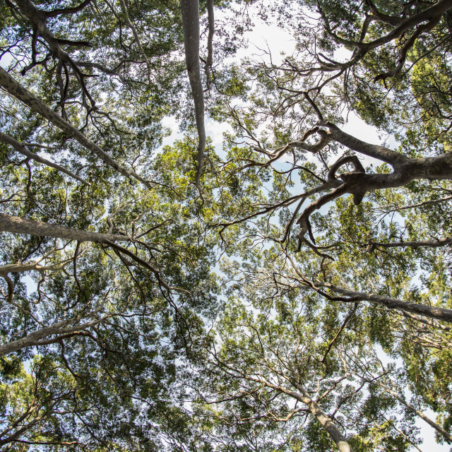 """Australian gum trees"" stock image"