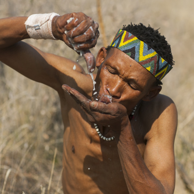 """Bushman Squeezing A Tuber And Drinking The Liquid In The Bush, Tsumkwe, Namibia"" stock image"