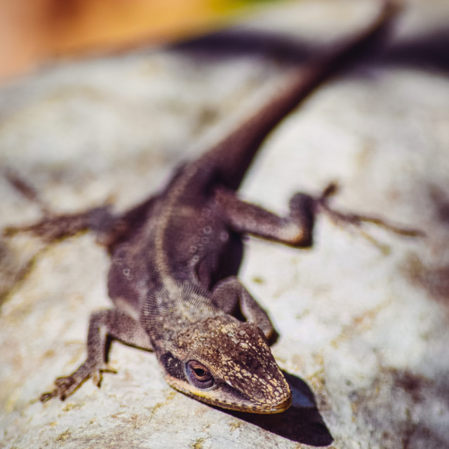 """Lizard Portrait"" stock image"