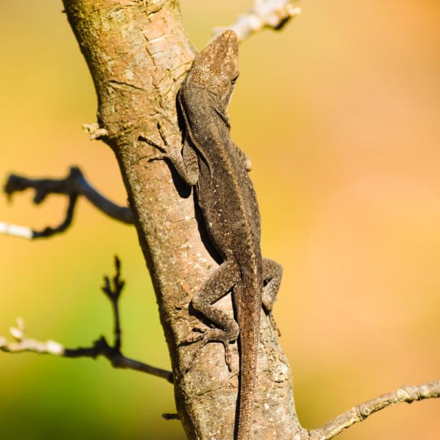 """""""Lizard Climbing"""" stock image"""