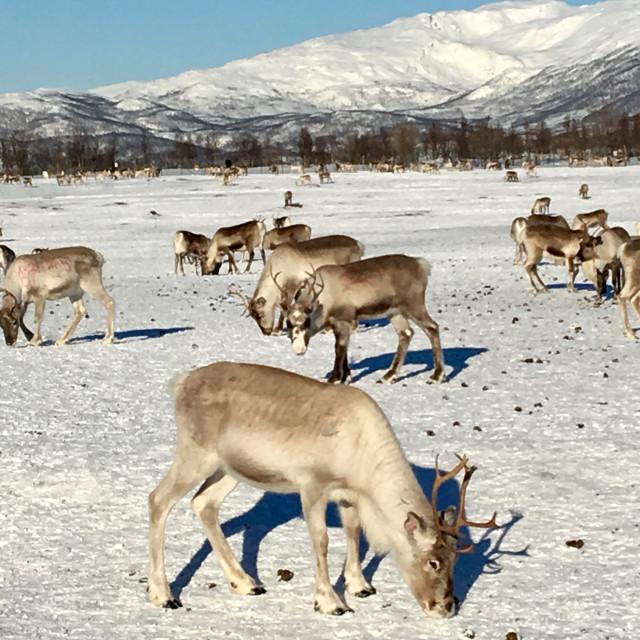 """""""Reindeer grazing in Tromso, Norway"""" stock image"""