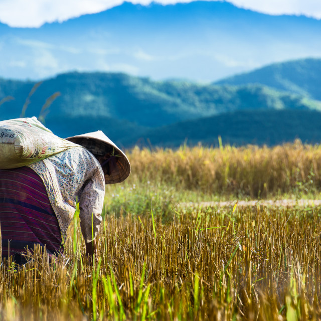 """Laos .... Lady working in rice field"" stock image"