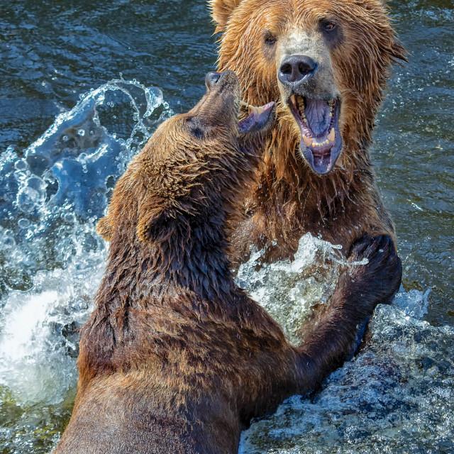 """Bears kodiak"" stock image"