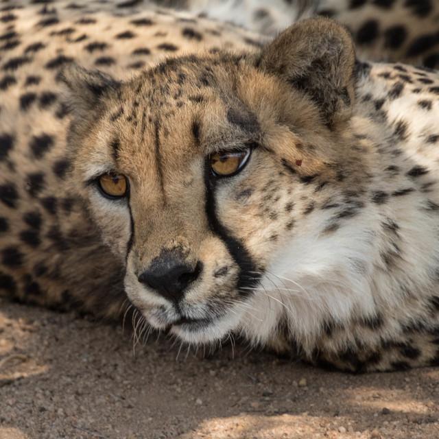 """cheetah close-up Kruger National Park"" stock image"