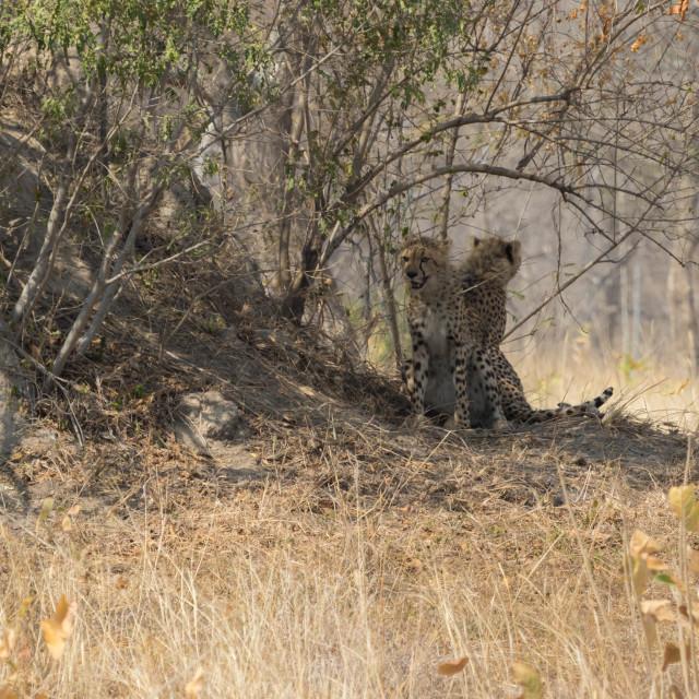 """Cheetah having rest under a tree"" stock image"