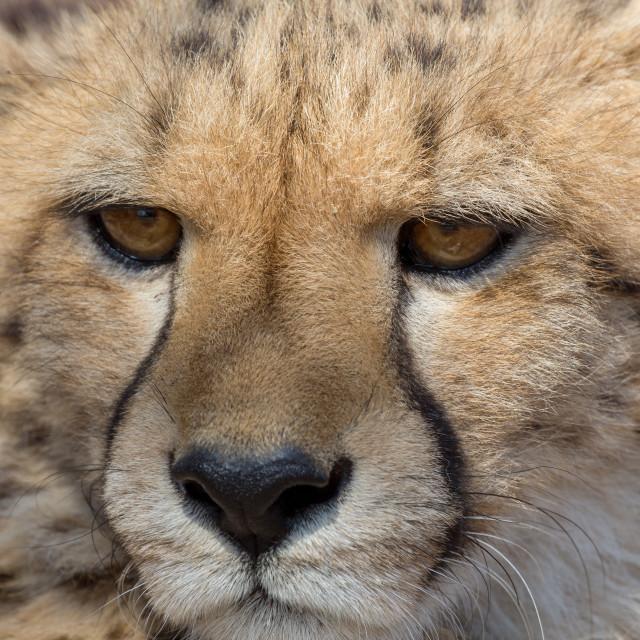 """Cheetah Kruger National Park"" stock image"