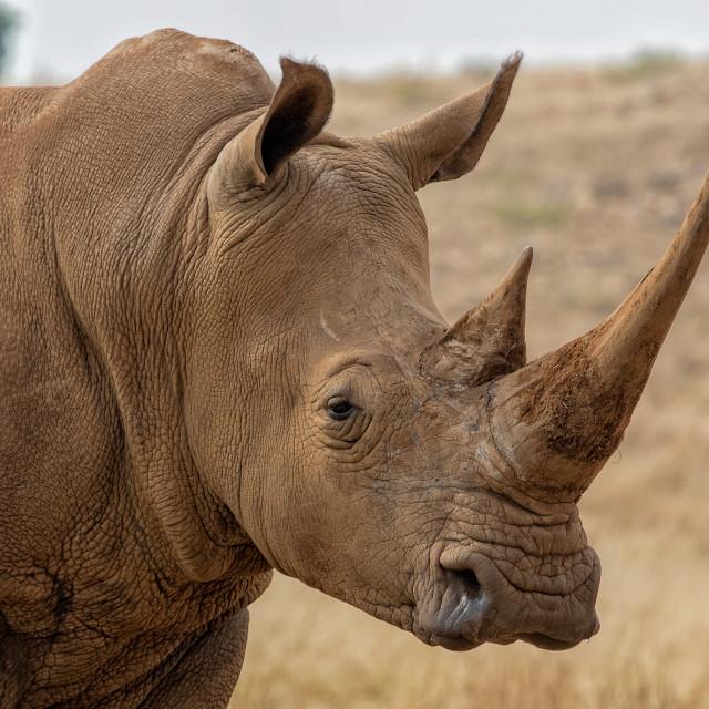 """White Rhino South Africa"" stock image"