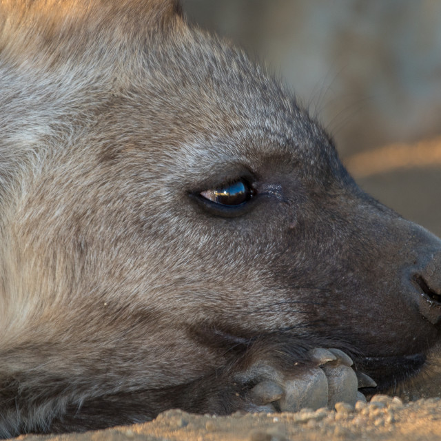 """""""Young Hyena having rest"""" stock image"""