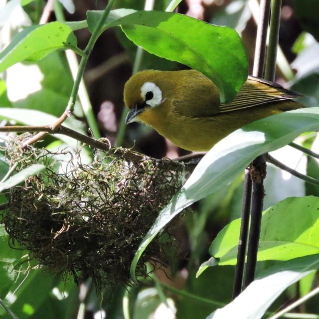 """Montane White-eye Zosterops poliogaster nest building Arusha National Park Tanzania"" stock image"