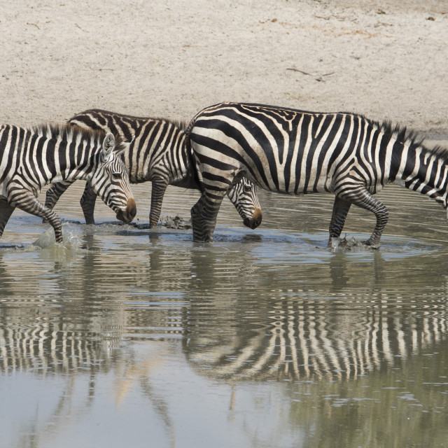 """Burchell's zebras (Equus burchelli) drinking in a watering hole in the..."" stock image"