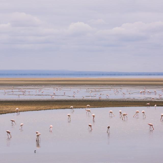 """""""Flamingos on Lake Manyara in Lake Manyara National Park, Tanzania, Africa"""" stock image"""