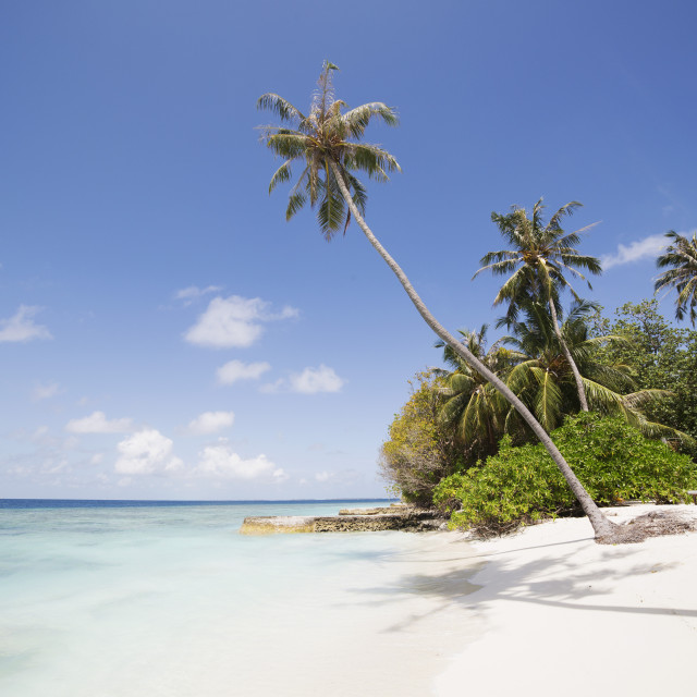 """Palm trees lean over white sand, under a blue sky, on Bandos Island in The..."" stock image"