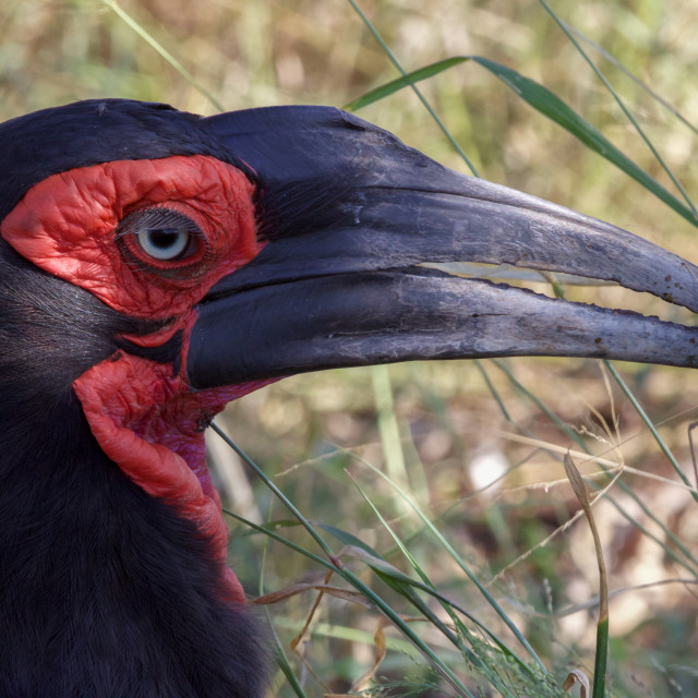 """""""a groung hornbill in the Kruger National Park South Africa"""" stock image"""