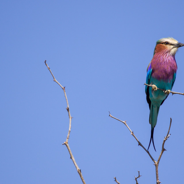 """a lilac brested roller in the Kurger National Park South Africa"" stock image"