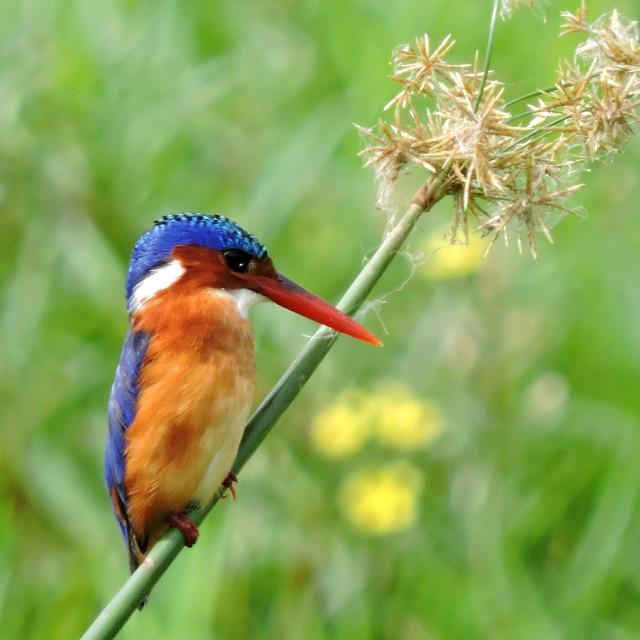"""""""Malachite Kingfisher Lake Manyara Tanzania"""" stock image"""