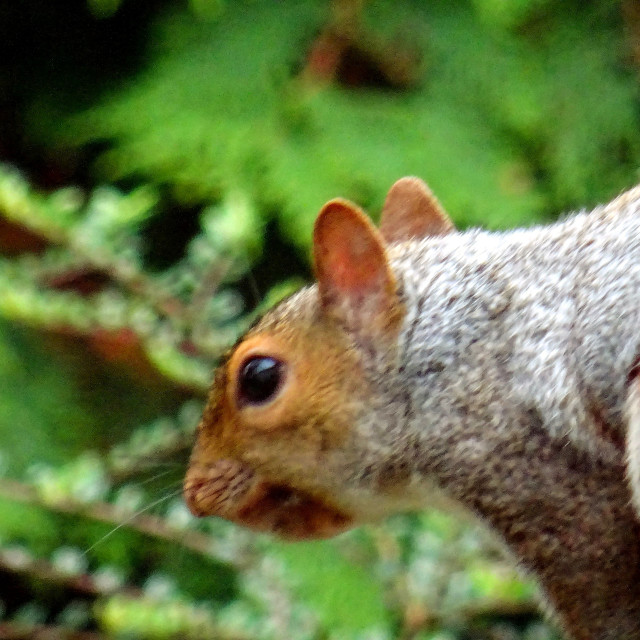 """Grey squirrel, red face"" stock image"