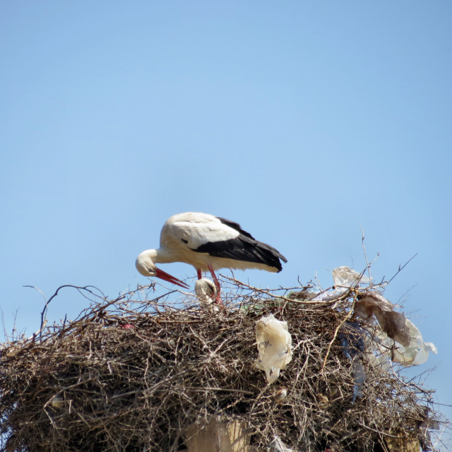 """Stork with chick"" stock image"