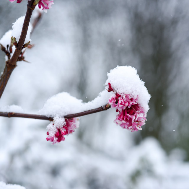 """Pink Flower covered in snow."" stock image"