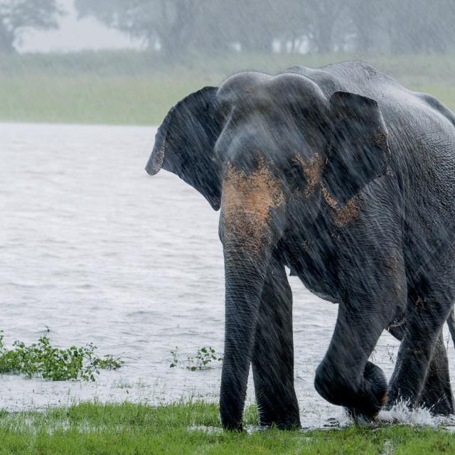 """Elephant in the rain"" stock image"
