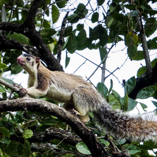 """Giant Squirrel"" stock image"