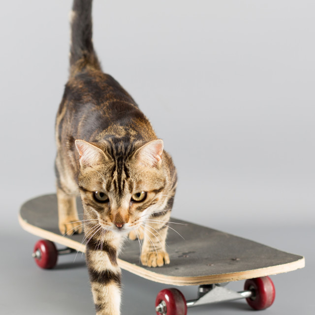 """Cat on a skateboard"" stock image"