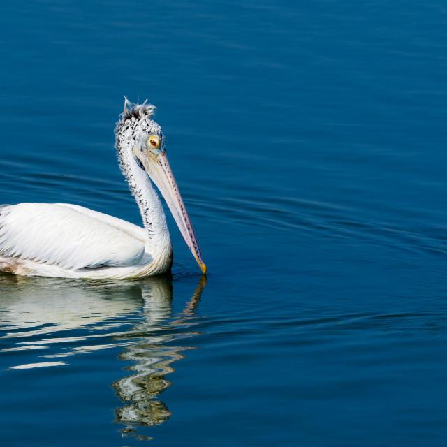 """Spot-Billed Pelican"" stock image"
