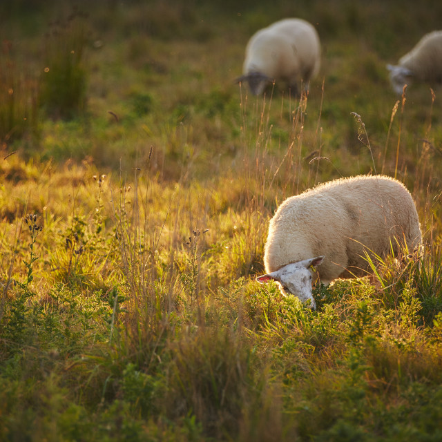 """Sheep in a field"" stock image"