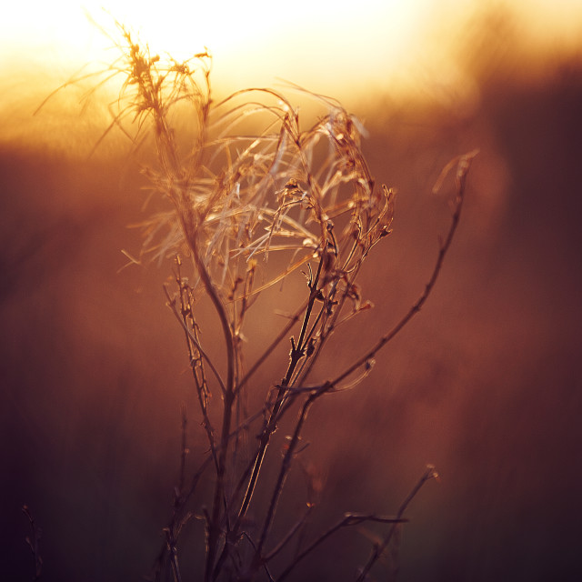 """""""bare plant at sunset"""" stock image"""
