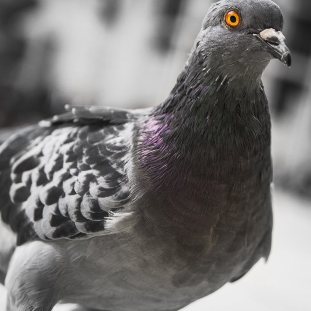 """Pigeon in London"" stock image"