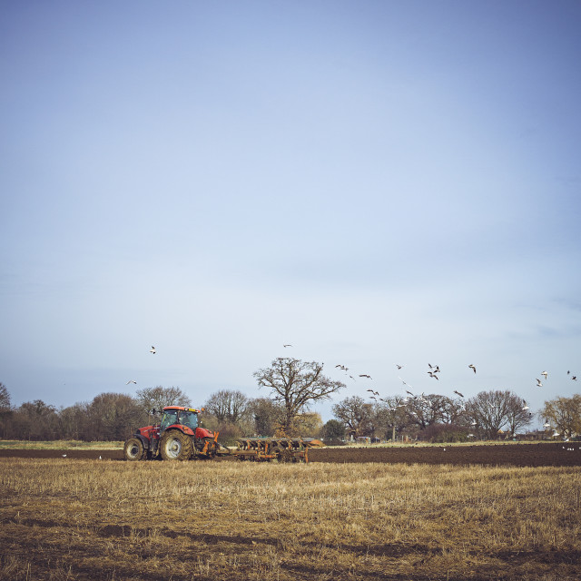 """Birds flying behind a ploughing tractor"" stock image"