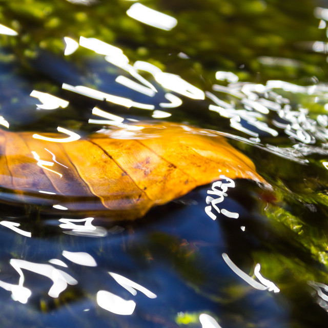 """Gilt Leaf in the Water"" stock image"